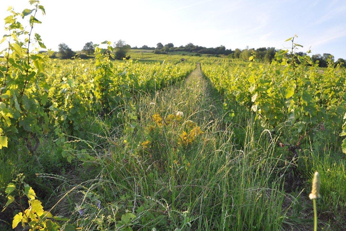 自然派ワインの葡萄畑 除草剤不使用