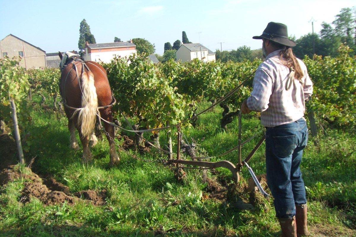 自然派ワインの葡萄畑 馬での耕作